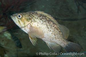 Kelp rockfish, Sebastes atrovirens