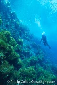 Kelp wall at Isla Afuera, Guadalupe Island, Guadalupe Island (Isla Guadalupe)