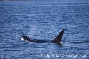 Killer whale (orca). Frederick Sound, Alaska, USA, Orcinus orca, natural history stock photograph, photo id 04410