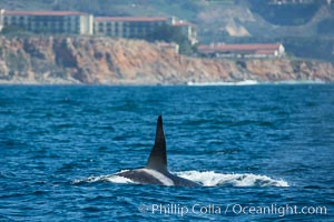 Killer Whale, Biggs Transient Orca, Palos Verdes. Palos Verdes, California, USA, Orcinus orca, natural history stock photograph, photo id 30424