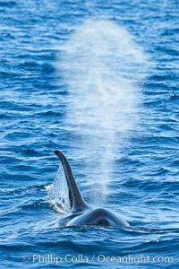 Killer Whale and blow, Biggs Transient Orcas, Palos Verdes, Orcinus orca