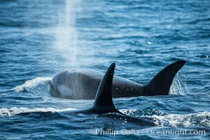 Killer Whales, Biggs Transient Orcas, Palos Verdes. California, USA, natural history stock photograph, photo id 30442