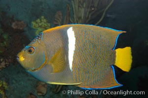 King angelfish., Holacanthus passer, natural history stock photograph, photo id 08817