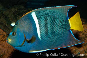 Image 09226, King angelfish., Holacanthus passer, Phillip Colla, all rights reserved worldwide.   Keywords: angel real:angelfish:animal:bar:color and pattern:fish:fish anatomy:holacanthus passer:holocanthus passer:indo-pacific:king angelfish:marine fish:passer angelfish:underwater.