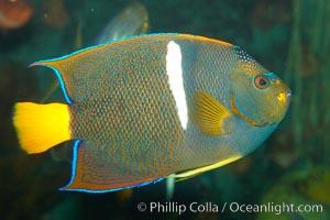 King angelfish., Holacanthus passer, natural history stock photograph, photo id 12892