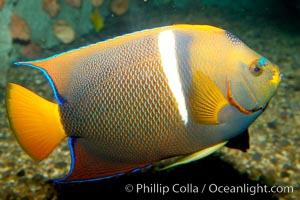 Image 12890, King angelfish., Holacanthus passer