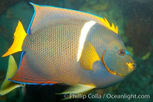 Image 12893, King angelfish., Holacanthus passer