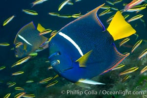Image 27470, King angelfish in the Sea of Cortez, Mexico. Baja California, Holacanthus passer, Phillip Colla, all rights reserved worldwide. Keywords: angel real, angelfish, animal, baja california, bar, color and pattern, creature, fish, fish anatomy, holacanthus passer, holocanthus passer, indo-pacific, king angelfish, marine, marine fish, mexico, nature, ocean, passer angelfish, sea, sea of cortez, teleost fish, underwater, wildlife.