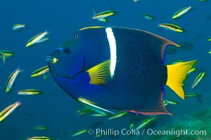 King angelfish in the Sea of Cortez, Mexico. Sea of Cortez, Baja California, Mexico, Holacanthus passer, natural history stock photograph, photo id 27471