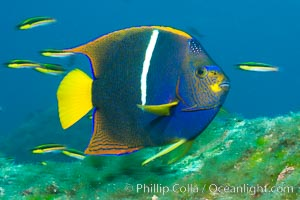 King angelfish in the Sea of Cortez, Mexico. Sea of Cortez, Baja California, Mexico, Holacanthus passer, natural history stock photograph, photo id 27474
