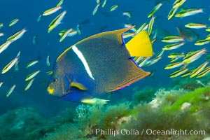 King angelfish in the Sea of Cortez, Mexico. Sea of Cortez, Baja California, Mexico, Holacanthus passer, natural history stock photograph, photo id 27476