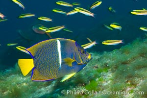 King angelfish in the Sea of Cortez, Mexico. Sea of Cortez, Baja California, Mexico, Holacanthus passer, natural history stock photograph, photo id 27477