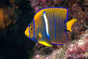 King Angelfish, Sea of Cortez,, Holacanthus passer