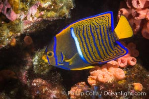King Angelfish, Sea of Cortez,, Holacanthus passer, Isla Las Animas, Baja California, Mexico