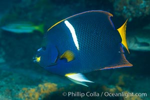 King Angelfish, Sea of Cortez,, Punta Alta, Baja California, Mexico