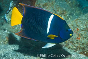 King Angelfish, Sea of Cortez,, Holacanthus passer, Punta Alta, Baja California, Mexico