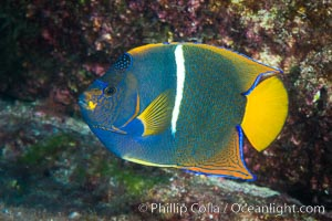 King Angelfish, Sea of Cortez, Baja California, Isla San Diego, Mexico
