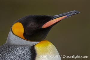 King penguin, showing ornate and distinctive neck, breast and head plumage and orange beak. Fortuna Bay, South Georgia Island, Aptenodytes patagonicus, natural history stock photograph, photo id 24598