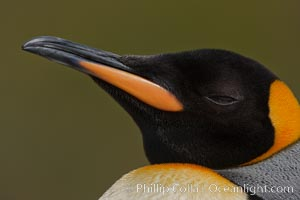 King penguin, showing ornate and distinctive neck, breast and head plumage and orange beak. Fortuna Bay, South Georgia Island, Aptenodytes patagonicus, natural history stock photograph, photo id 24618
