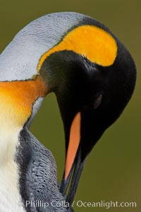 King penguin, showing ornate and distinctive neck, breast and head plumage and orange beak. Fortuna Bay, South Georgia Island, Aptenodytes patagonicus, natural history stock photograph, photo id 24650