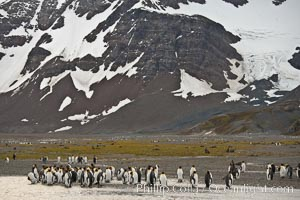 King penguin colony, Right Whale Bay, South Georgia Island.  Over 100,000 pairs of king penguins nest on South Georgia Island each summer., Aptenodytes patagonicus, natural history stock photograph, photo id 24330