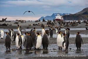 Image 24354, King penguin colony, Right Whale Bay, South Georgia Island.  Over 100,000 pairs of king penguins nest on South Georgia Island each summer., Aptenodytes patagonicus, Phillip Colla, all rights reserved worldwide.   Keywords: animal:animalia:aptenodytes:aptenodytes patagonicus:atlantic:aves:bird:chordata:king penguin:oceans:patagonicus:penguin:right whale bay:sea bird:seabird:south georgia island:spheniscidae:sphenisciformes:united kingdom:vertebrata:vertebrate:wildlife.