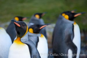 King penguins, showing ornate and distinctive neck, breast and head plumage and orange beak, Aptenodytes patagonicus, Grytviken