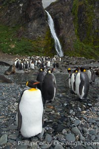 King penguins gather in a steam to molt, below a waterfall on a cobblestone beach at Hercules Bay. Hercules Bay, South Georgia Island, Aptenodytes patagonicus, natural history stock photograph, photo id 24469