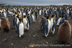 King penguins at Salisbury Plain.  Silver and black penguins are adults, while brown penguins are 'oakum boys', juveniles named for their distinctive fluffy plumage that will soon molt and taken on adult coloration. Salisbury Plain, South Georgia Island, Aptenodytes patagonicus, natural history stock photograph, photo id 24542