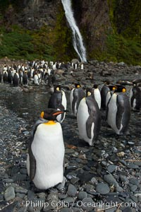 King penguins gather in a steam to molt, below a waterfall on a cobblestone beach at Hercules Bay, Aptenodytes patagonicus