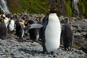 King penguin.2, Aptenodytes patagonicus, Hercules Bay