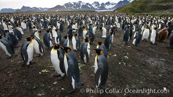 King penguin colony at Salisbury Plain, Bay of Isles, South Georgia Island.  Over 100,000 pairs of king penguins nest here, laying eggs in December and February, then alternating roles between foraging for food and caring for the egg or chick. Salisbury Plain, South Georgia Island, Aptenodytes patagonicus, natural history stock photograph, photo id 24458