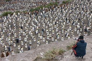 Photographer overlooking the vast king penguin colony at Salisbury Plain, with over 100,000 pairs of king penguins, Aptenodytes patagonicus