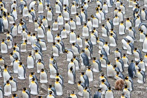 King penguin colony. Over 100,000 pairs of king penguins nest at Salisbury Plain, laying eggs in December and February, then alternating roles between foraging for food and caring for the egg or chick. South Georgia Island, Aptenodytes patagonicus, natural history stock photograph, photo id 24386