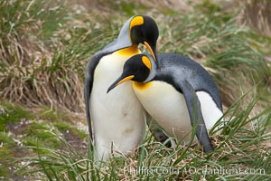 King penguin, mated pair courting, displaying courtship behavior including mutual preening, Aptenodytes patagonicus, Salisbury Plain