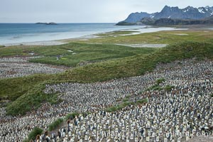 King penguin colony and the Bay of Isles on the northern coast of South Georgia Island.  Over 100,000 nesting pairs of king penguins reside here.  Dark patches in the colony are groups of juveniles with fluffy brown plumage, Aptenodytes patagonicus, Salisbury Plain