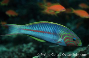 Klunzingers Wrasse, northern Red Sea, Thalassoma rueppellii, Egyptian Red Sea