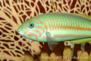 Klunzingers wrasse., Thalassoma rueppellii, natural history stock photograph, photo id 09351
