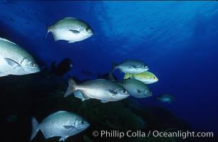 Cortez chubb including golden phase. Guadalupe Island (Isla Guadalupe), Baja California, Mexico, Kyphosus elegans, natural history stock photograph, photo id 06178