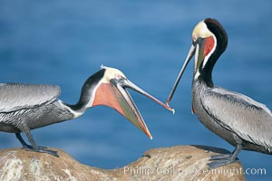 Brown pelicans sparring with beaks, winter plumage, showing bright red gular pouch and dark brown hindneck plumage of breeding adults. La Jolla, California, USA, Pelecanus occidentalis, Pelecanus occidentalis californicus, natural history stock photograph, photo id 20146