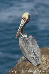 Brown pelican portrait, resting on sandstone cliffs beside the sea, winter mating plumage with distinctive dark brown nape and red gular throat pouch, Pelecanus occidentalis, Pelecanus occidentalis californicus, La Jolla, California