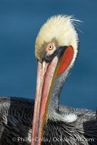 Brown pelican portrait, winter mating plumage with distinctive dark brown nape and red gular throat pouch, Pelecanus occidentalis, Pelecanus occidentalis californicus, La Jolla, California