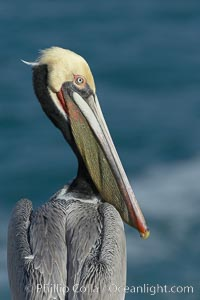 Brown pelican portrait, winter mating plumage with distinctive dark brown nape and red gular throat pouch, Pelecanus occidentalis, Pelecanus occidentalis californicus, La Jolla, California