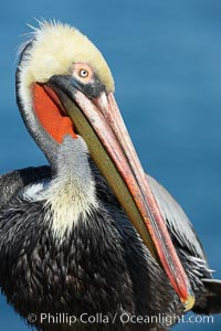 Brown pelican portrait, winter mating plumage with distinctive dark brown nape and red gular throat pouch. La Jolla, California, USA, Pelecanus occidentalis, Pelecanus occidentalis californicus, natural history stock photograph, photo id 20179