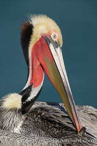 Brown pelican portrait, displaying winter breeding plumage with distinctive dark brown nape, yellow head feathers and red gular throat pouch. La Jolla, California, USA, Pelecanus occidentalis, Pelecanus occidentalis californicus, natural history stock photograph, photo id 20232