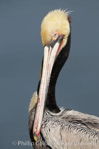 Brown pelican portrait, displaying winter breeding plumage with distinctive dark brown nape and yellow head feathers, Pelecanus occidentalis, Pelecanus occidentalis californicus, La Jolla, California