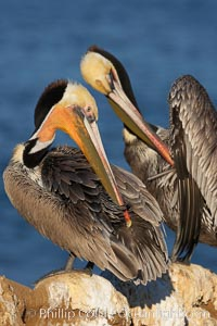 A brown pelican preening, reaching with its beak to the uropygial gland (preen gland) near the base of its tail.  Preen oil from the uropygial gland is spread by the pelican's beak and back of its head to all other feathers on the pelican, helping to keep them water resistant and dry. La Jolla, California, USA, Pelecanus occidentalis, Pelecanus occidentalis californicus, natural history stock photograph, photo id 18123