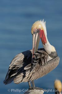 Image 18211, A brown pelican preening, reaching with its beak to the uropygial gland (preen gland) near the base of its tail.  Preen oil from the uropygial gland is spread by the pelican's beak and back of its head to all other feathers on the pelican, helping to keep them water resistant and dry. La Jolla, California, USA, Pelecanus occidentalis, Pelecanus occidentalis californicus