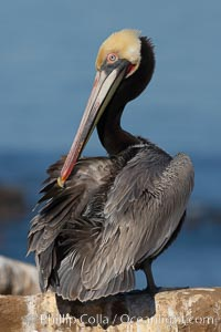 Brown pelican,  La Jolla, California.   In winter months, breeding adults assume a dramatic plumage with brown neck, yellow and white head and bright red gular throat pouch, Pelecanus occidentalis, Pelecanus occidentalis californicus