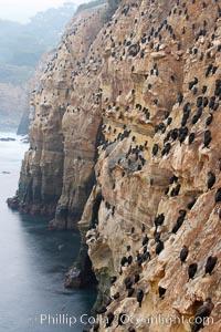 Cormorants rest on sandstone seacliffs above the ocean.  Likely Brandts and double-crested cormorants, Phalacrocorax, La Jolla, California